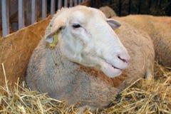Moutons dans son compartiment Photos libres de droits