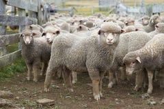 Moutons dans un corral photos libres de droits