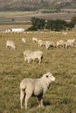 Moutons dans un domaine Photo libre de droits