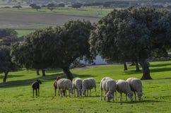 Moutons dans un domaine avec des chênes image stock