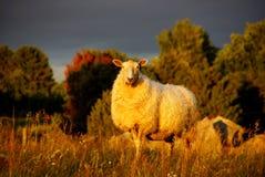 Moutons dans un domaine noir de ciel Photo stock