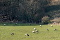 Moutons dans un domaine près de Folkington à East Sussex image libre de droits