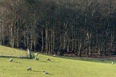 Moutons dans un domaine près de Folkington à East Sussex photos stock
