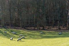 Moutons dans un domaine près de Folkington à East Sussex photographie stock
