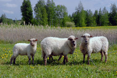 Moutons dans un domaine sur l'herbe Images libres de droits