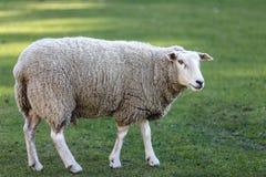 Moutons dans un pré image stock