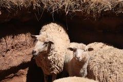 Moutons dans un pré Images libres de droits