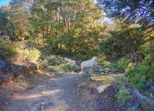 Moutons dans un pré vert et montagnes neigeuses à l'arrière-plan dans l'itinéraire scénique du sud, Nouvelle-Zélande photographie stock
