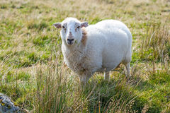 Moutons dans un pré Photos stock