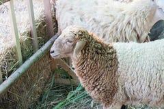 Moutons dans une écurie Photo stock