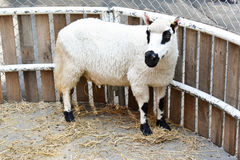 Moutons dans une cage de zoo Photographie stock