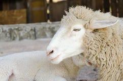 Moutons dans une ferme Photo libre de droits