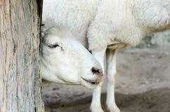 Moutons dans une ferme Photographie stock libre de droits