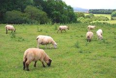 Moutons dans une ferme, des terres cultivables, ou un domaine en Angleterre Image stock