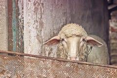 Moutons dans une grange Photos libres de droits