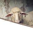 Moutons dans une grange Photographie stock