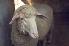 Moutons dans une grange Image stock