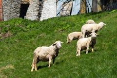 Moutons dans une montagne Photo libre de droits