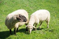 Moutons dans une montagne Photographie stock libre de droits