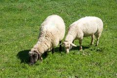Moutons dans une montagne Photos libres de droits