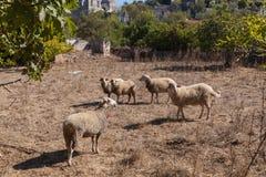 Moutons dans une ville fantôme de Kayakoy Photographie stock libre de droits