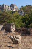 Moutons dans une ville fantôme de Kayakoy Photos libres de droits