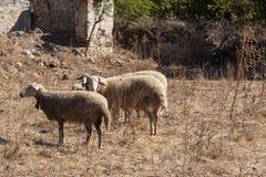 Moutons dans une ville fantôme de Kayakoy Photographie stock