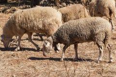 Moutons dans une ville fantôme de Kayakoy Images libres de droits