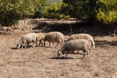 Moutons dans une ville fantôme de Kayakoy Images stock