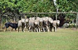 Moutons de évasion dans la ferme d'agriculture dans l'Australie Images libres de droits