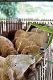 Moutons de alimentation Photo libre de droits