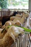 Moutons de alimentation Image libre de droits