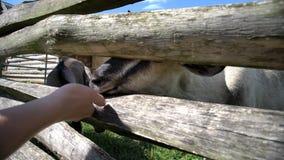 Moutons de alimentation dans la ferme antique éducative de Butser banque de vidéos