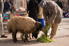 Moutons de alimentation de vendeur irakien de moutons Image stock