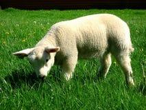Moutons de bébé Photos libres de droits