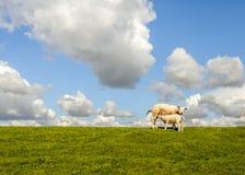 Moutons de bébé buvant à sa mère sur une digue néerlandaise Image libre de droits