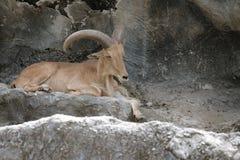 Moutons de bébé de lervia d'Ammotragus dans le safari de nuit de Chiangmai photos libres de droits