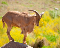 Moutons de Barbarie Photographie stock