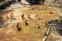 Moutons de Barbarie Photographie stock libre de droits