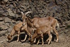 Moutons de Barbarie avec des nourrissons Images stock
