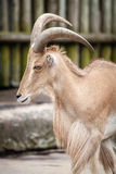 Moutons de Barbarie d'Africain au zoo Photographie stock