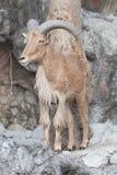 Moutons de Barbarie en stationnement Photographie stock libre de droits