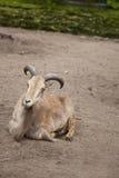 Moutons de Barbarie, lervia d'Ammotragus Images stock