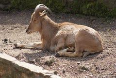 Moutons de Barbarie - lervia d'Ammotragus Images stock
