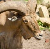 Moutons de Barbarie de Libyen dans le zoo de Wroclaw en été Fin vers le haut Portrai images libres de droits