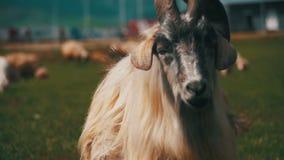 Moutons de Big Horn Alpha Male Ram principale dans le troupeau de moutons frôlant dans le domaine en montagnes Mouvement lent banque de vidéos
