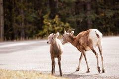 Moutons de Big Horn de bébé avec sa mère Photo libre de droits
