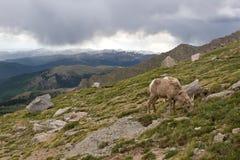 Moutons de Big Horn de bébé frôlant sur le flanc de coteau Image libre de droits