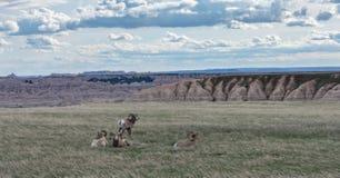 Moutons de Big Horn en cercle vigilant Photo libre de droits
