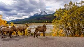 Moutons de Big Horn en Jasper National Park Photo libre de droits